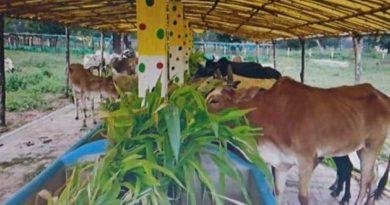 आदर्श गौठान में तैयार हो रहे हैं ताजे, हरे व पौष्टिक चारे